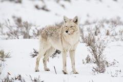 Actitudes del coyote en un neadow nevoso del sagebrush imagenes de archivo