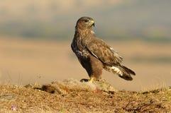 Actitudes del halcón con la comida en el campo Fotos de archivo libres de regalías