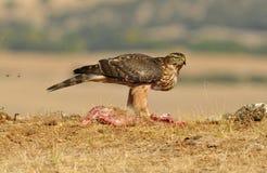 Actitudes del halcón de Eagle con la comida Imagen de archivo libre de regalías
