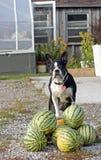Actitudes del perro en la sandía foto de archivo