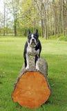 Actitudes del terrier de Boston Fotografía de archivo libre de regalías
