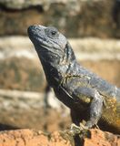 Actitudes mexicanas de una iguana para el fotógrafo Fotografía de archivo