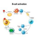 Activación de los leucocitos del linfocito B Fotografía de archivo libre de regalías