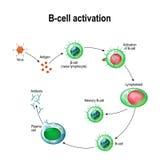 Activation of B-cell leukocytes. Lymphoblast, activation, memory B-leukocyte, virus, plasma cell, antibody, antigen, and naive lymphocyte Royalty Free Stock Photography