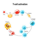 Activation of  T-cell leukocytes. T-cell encounters its cognate antigen on the surface of an infected cell. T cells direct and regulate immune responses and Stock Images
