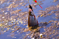 Active angling fish bream fishing rod. Summer fishing bream in lake during day Stock Photo