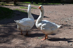 active animals best couple egg expecting farm friends geese goose goslings make relationship their together two walking white wil Стоковое Изображение