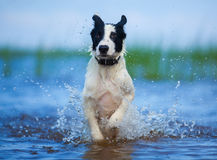 Active athletic puppy running at the sea. Royalty Free Stock Image