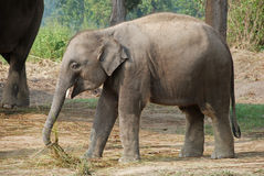 Active baby elephant running around Stock Photography