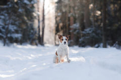 Active and beautiful dog breed jack russel terrier outdoors Royalty Free Stock Photos