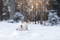 Active and beautiful dog breed jack russel terrier outdoors Royalty Free Stock Image