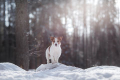 Active and beautiful dog breed jack russel terrier outdoors Stock Photo