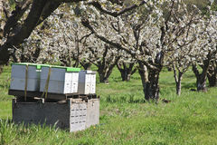 Active Bee Hives. With blooming fruit trees Royalty Free Stock Images