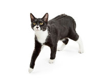 Active Black and White Cat Walking Royalty Free Stock Photos