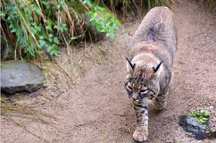 Active Bobcat walks Stock Photo