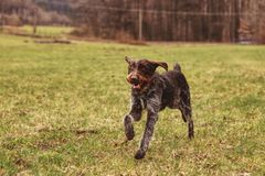 Active bohemian wire, Barbu tcheque, runs back and forth. Czech pointer looks for some smells or some wild animals. Hunter dog is. Running to her owner. Brown royalty free stock photos