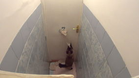 Active cat quickly unrolling toilet paper. Active Burmese cat playing with toilet paper and quickly unrolling it in lavatory. Funny impatient pet dynamically stock footage