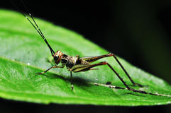 Active Crickets. An active crickets at night on a green leaf Royalty Free Stock Images