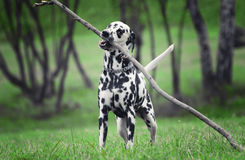 Active cute dalmatian running on green meadow. royalty free stock photography