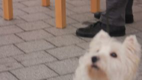 Active cute dog spinning around its master, curiously looking at passers-by. Stock footage stock video footage