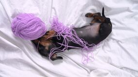 Active dachshund puppy stole skein of yarn, nibbles it, wallows and gets tangled in threads, top view. Naughty and