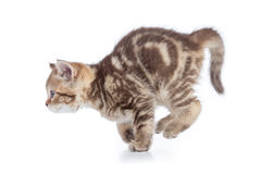 Active, der die Seitenansicht der jungen Katze lokalisiert laufen lässt Lizenzfreie Stockfotografie