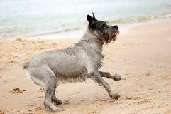 Active dog. Dog Schnauzer having fun on the beach Stock Photo