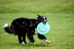 active Dog and Frisbee Royalty Free Stock Photo