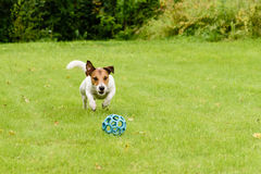 Active dog jumping on ball playing on summer lawn. Jack Russell Terrier playing alone Royalty Free Stock Image