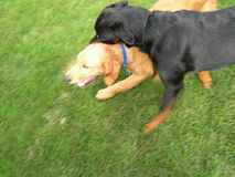 Active Dogs. Female Rottweiler playing in backyard with Male Golden puppy Stock Photography