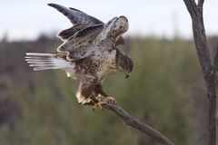 Active ferruginous hawk in Arizona Royalty Free Stock Photos