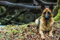 Active German shepherd dog outdoor in forest Royalty Free Stock Photography