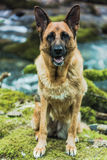 Active German shepherd dog outdoor in forest Royalty Free Stock Image
