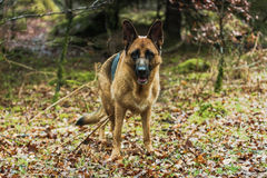 Active German shepherd dog outdoor in forest Royalty Free Stock Photos