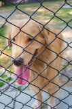 Active Golden Retriever in Cage Stock Photography