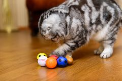 Gray cat playing with cat toys Stock Images