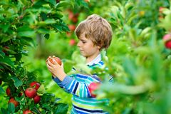 Active happy blond kid boy picking and eating red apples on organic farm, autumn outdoors. Funny little preschool child royalty free stock images