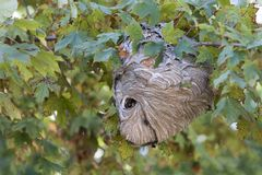 Active Hornet's Nest With Hornets. Active hornet's nest being built in a maple tree Stock Photography