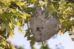 Active Hornet's Nest With Hornets. Active hornet's nest being built in a maple tree royalty free stock photo