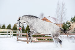 Active horse running and jumping over white snow Royalty Free Stock Photography