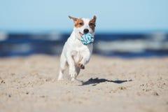 Active jack russell terrier dog on a beach stock photos