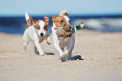 Active jack russell terrier dog on a beach Stock Image