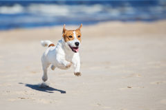 Active jack russell terrier dog on a beach. Jack russell terrier dog on a beach Royalty Free Stock Image