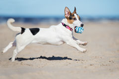 Active jack russell terrier dog on a beach royalty free stock photos