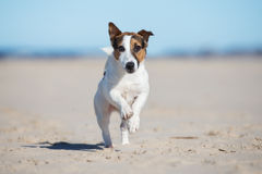 Active jack russell terrier dog on a beach stock images