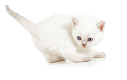 Active kitten Royalty Free Stock Images