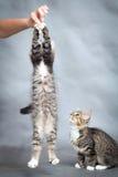 Active kitten jumps on hand Royalty Free Stock Photos