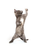 Active kitten playing on white Stock Images