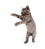 Active kitten playing on white. Cute kitten playing on a white background royalty free stock photos