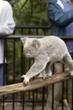 Active koala bear at Australia Zoo. An alert koala bear takes a stroll at Australia Zoo royalty free stock photography